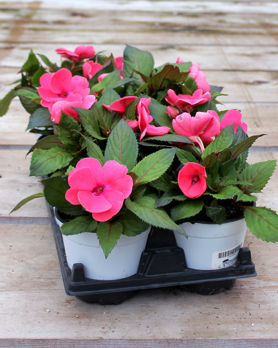 Sun Harmony Deep Pink New Guinea Impatiens 8 Count Flat Of 5